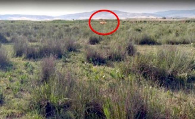 """Çorum'da çobanın """"Aslan gördüm"""" iddiası ekipleri teyakkuza geçirdi"""