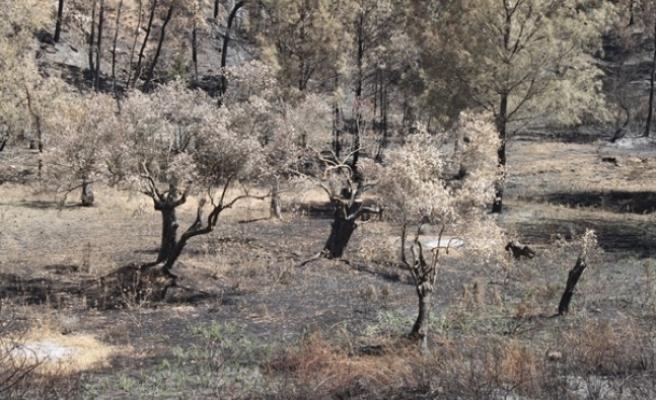 Yanan anıt zeytin ağaçlarının geleceği için yerinde inceleme yaılacak