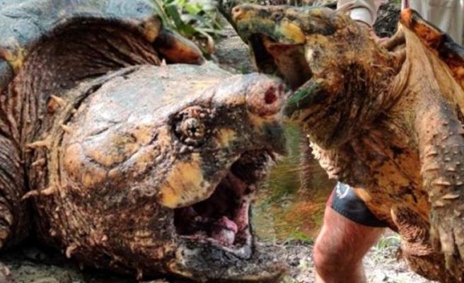 ABD'de dünyanın en büyük timsah kapan kaplumbağası yakalandı