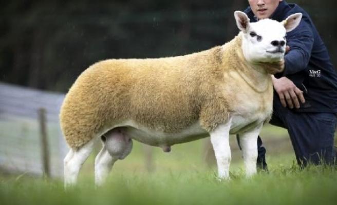 İskoçya'da dünyanın en pahalı koyunu 3 milyon 603 bin TL'ye satıldı