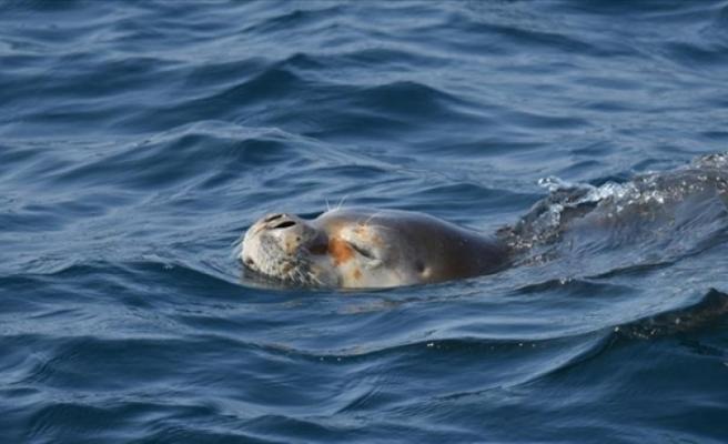 KKTC kıyılarında Akdeniz fokları'nın yaşam alanlarının araştırılması projesine aksa enerji destek verecek