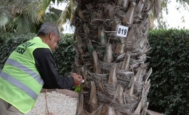 Gönyeli'de hurma ağaçları ilaçlanıyor