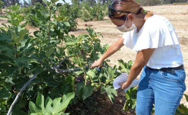 Kuzey KIbrıs'ta en verimlisi kara incir ve beyaz lob incir