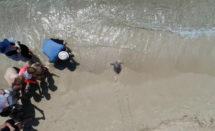 Tedavisi tamamlanan kaplumbağa 'Pisgot' denizle buluştu
