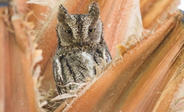 Sadece Kıbrıs'a özgü üçüncü bir endemik kuş türü